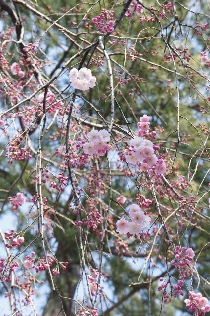 桜パトロール ① 5