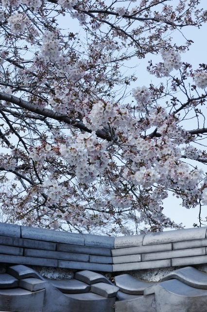 桜パトロール ① 6