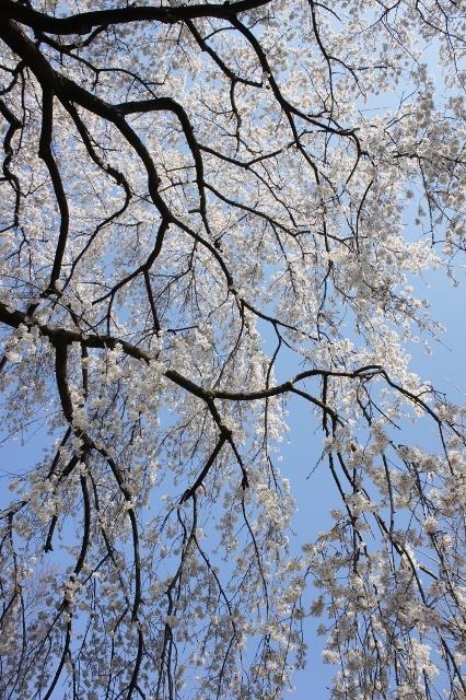 桜パトロール ① 9