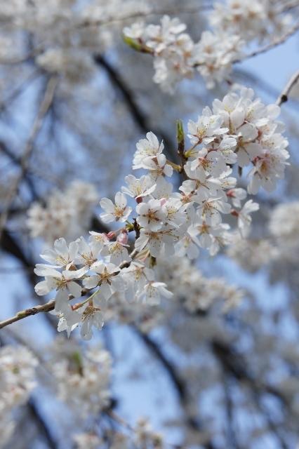 桜パトロール ① 10