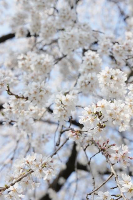 桜パトロール ① 11