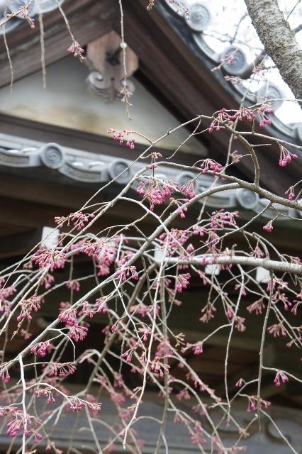 桜パトロール ① 14