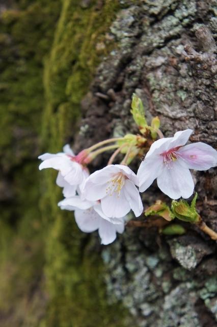 桜パトロール ① 23