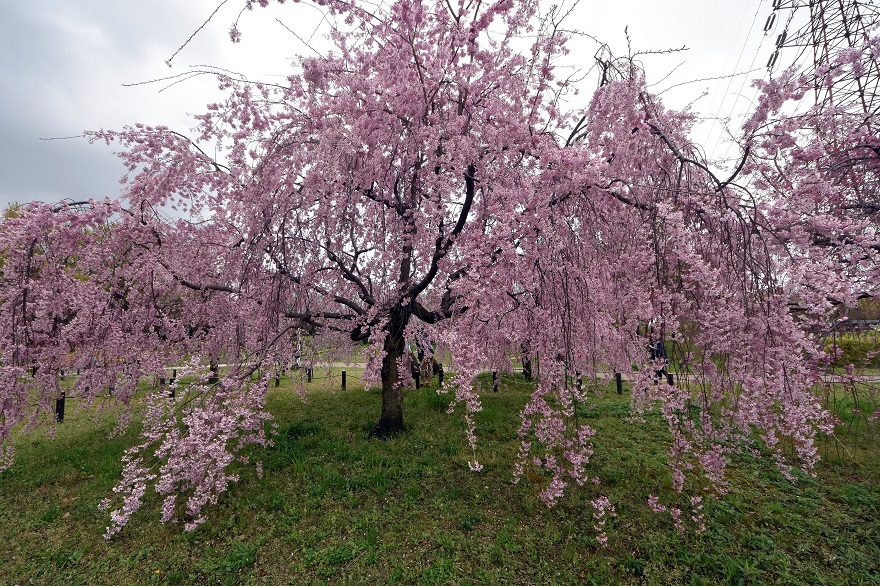 大仙・桜 (0)