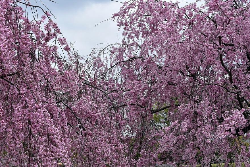 大仙・桜 (1)
