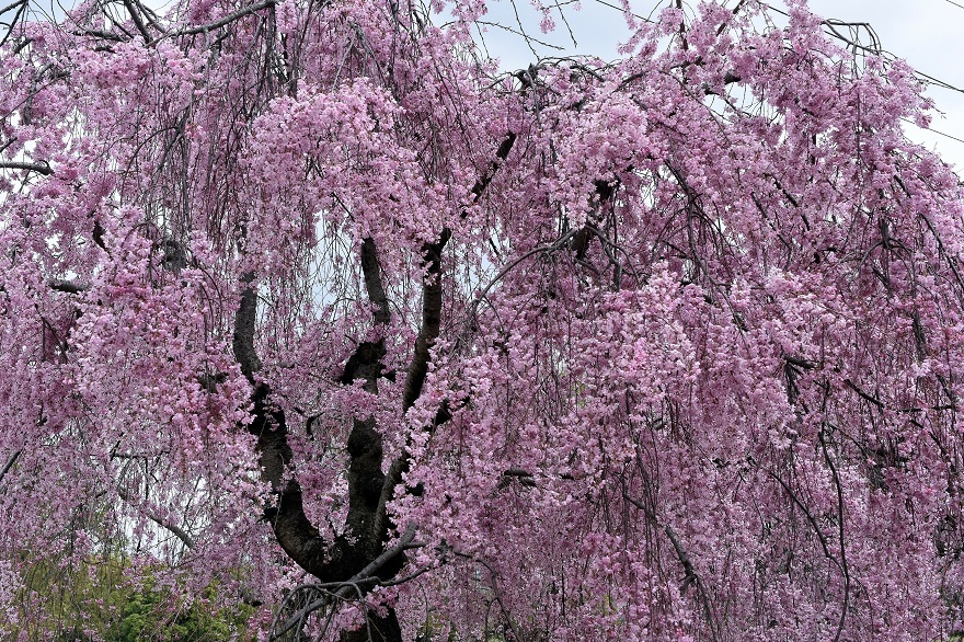 大仙・桜 (2)