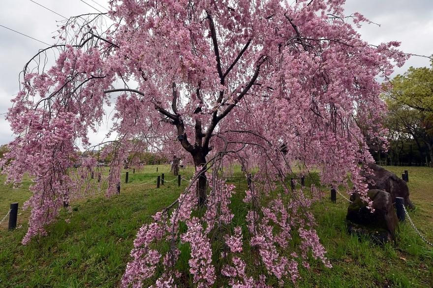 大仙・桜 (3)