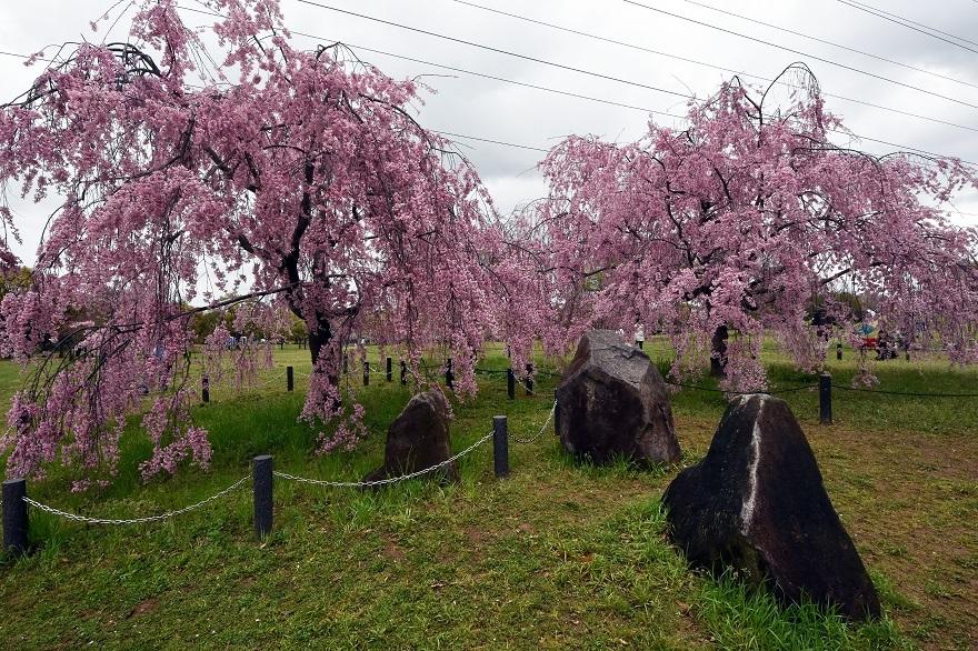 大仙・桜 (4)