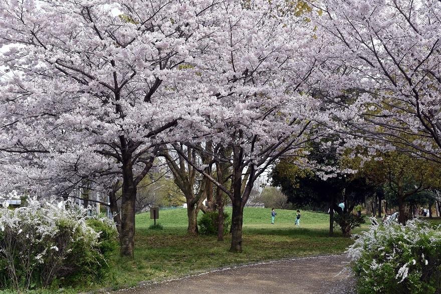 大仙・桜 (6)