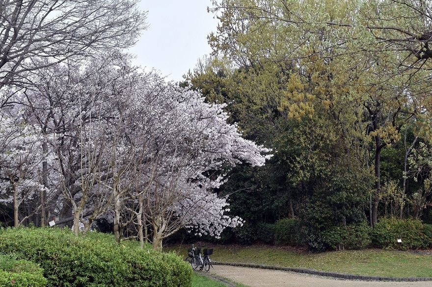大仙・桜 (5)