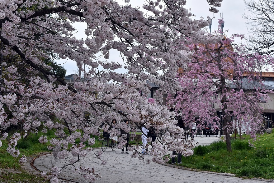 大仙・桜 (8)