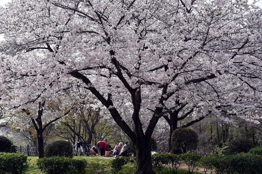 大仙・桜 (7)