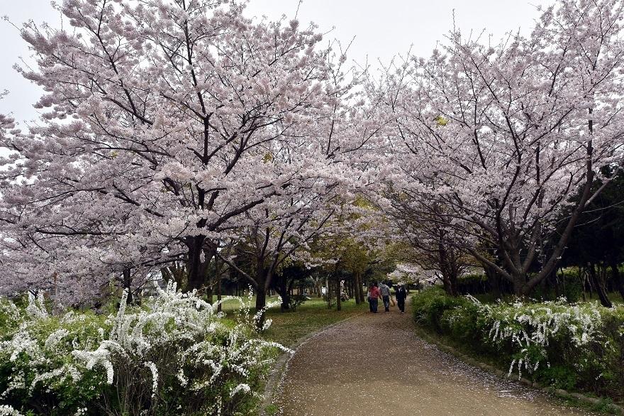 大仙・桜 (9)
