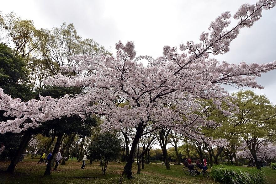 大仙・桜 (10)