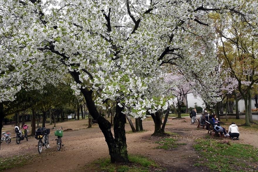 大仙・桜 (11)