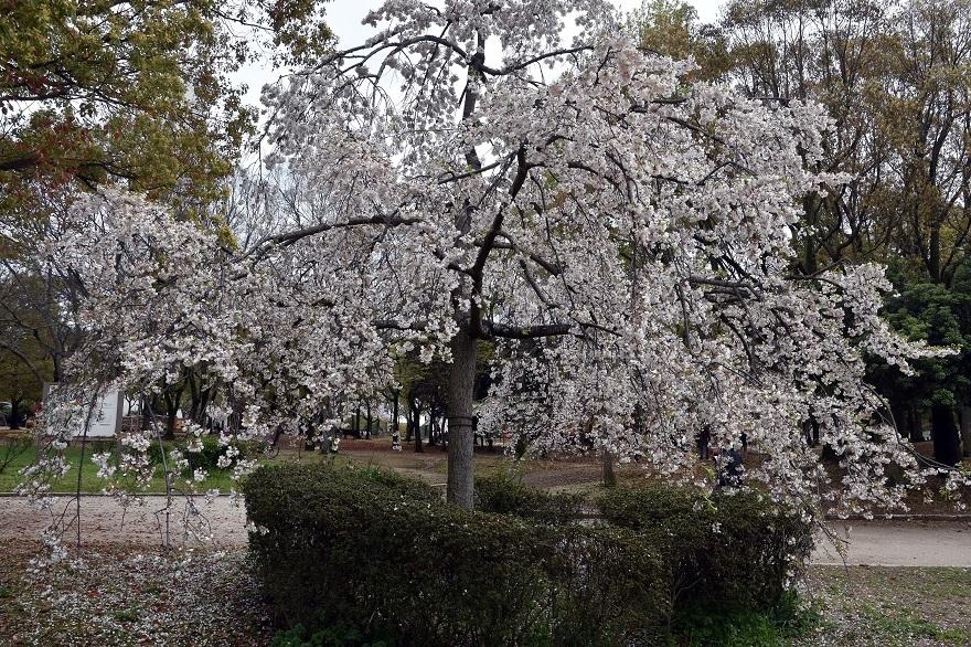 大仙・桜 (12)