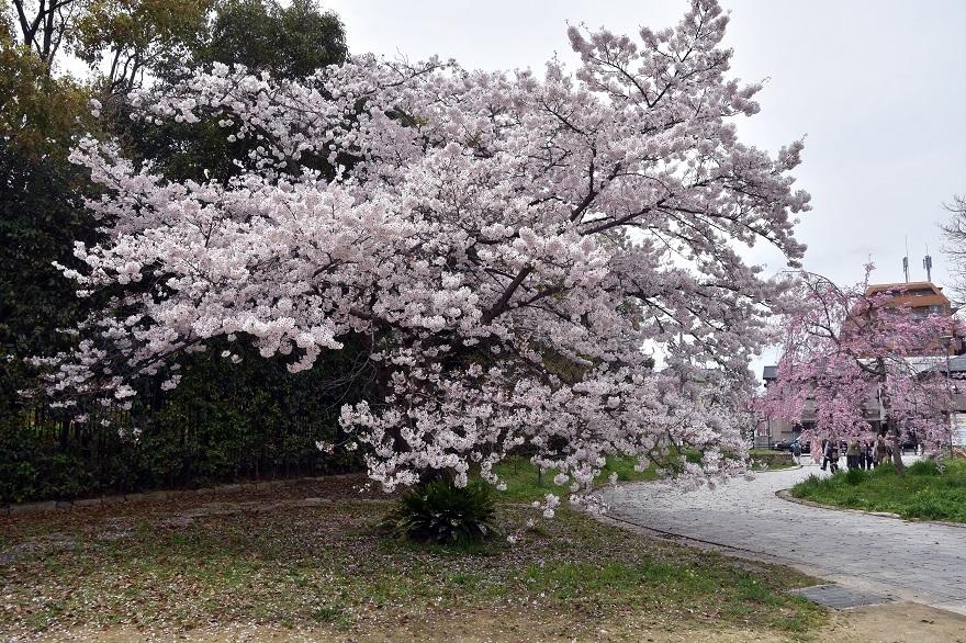 大仙・桜 (13)