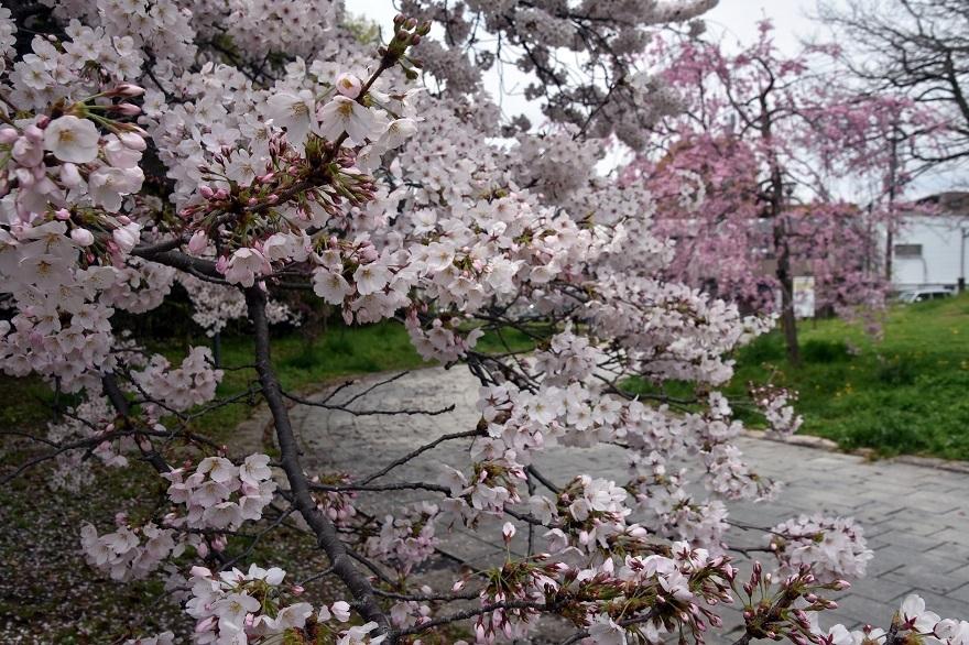大仙・桜 (14)