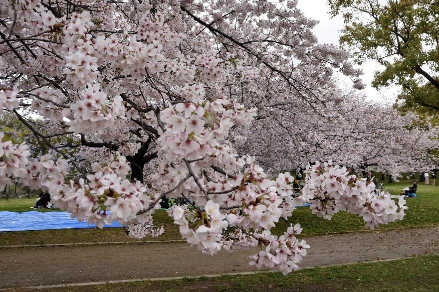 大仙・桜 (15)