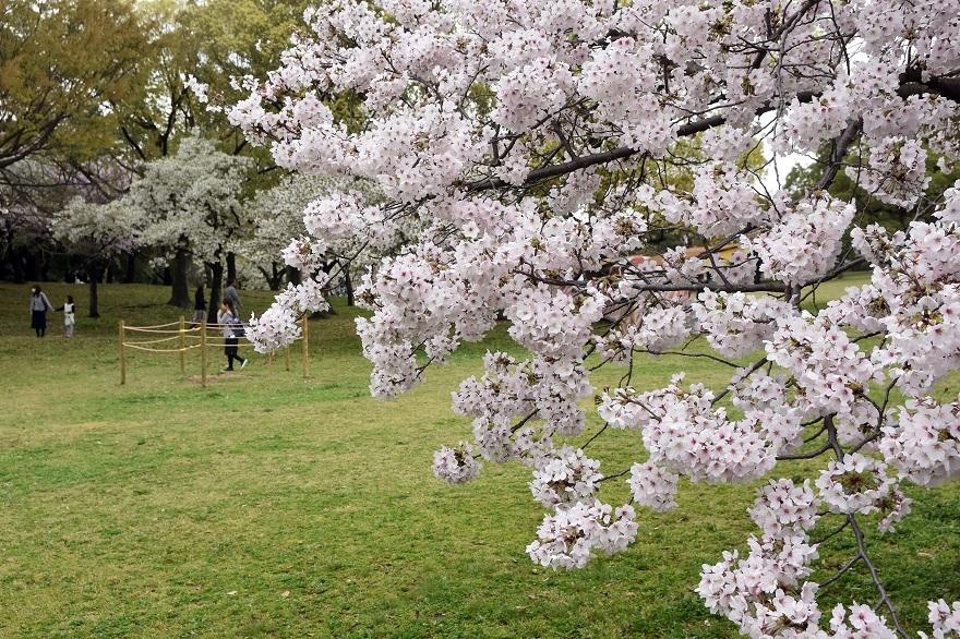 大仙・桜 (16)