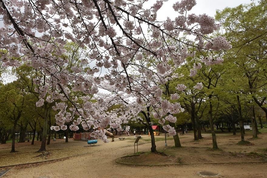 大仙・桜 (017)