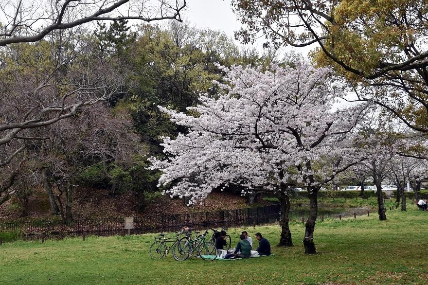 大仙・桜 (19)