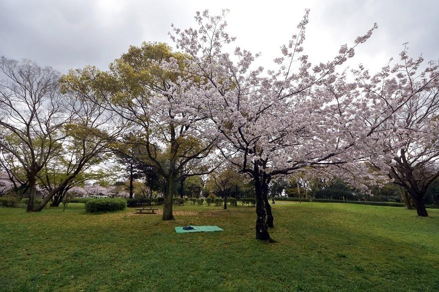 大仙・桜 (20)