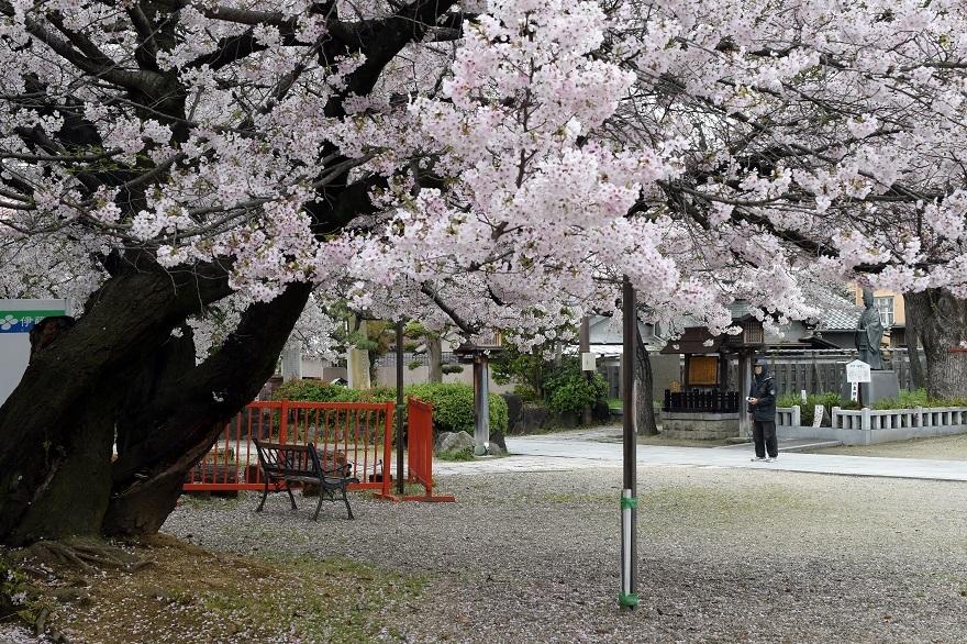 阿倍野神社・桜 (0)