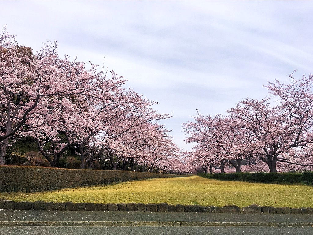 お花見20171
