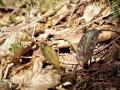 カタクリの葉