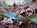 カタクリの花芽