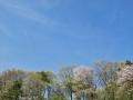 ヤマザクラの空