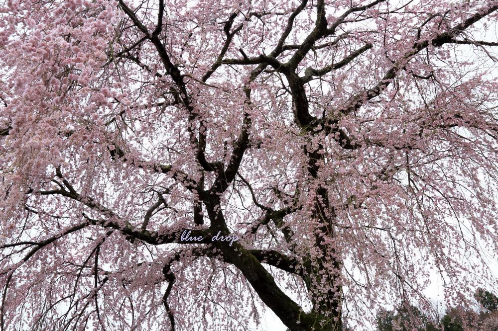 桜。shower