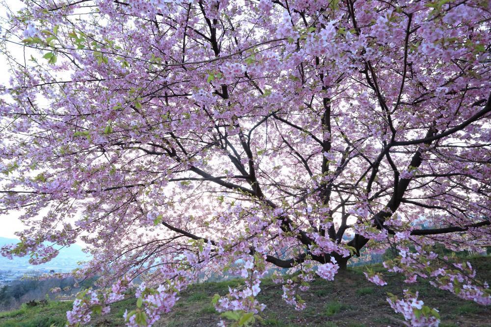 夜明けを待つ桜