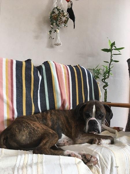 ボクサー犬 BONO