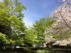 sakura and green