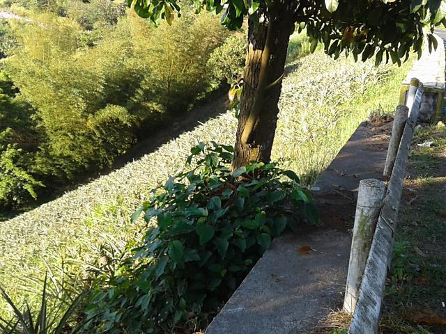 パイナップルの丘2