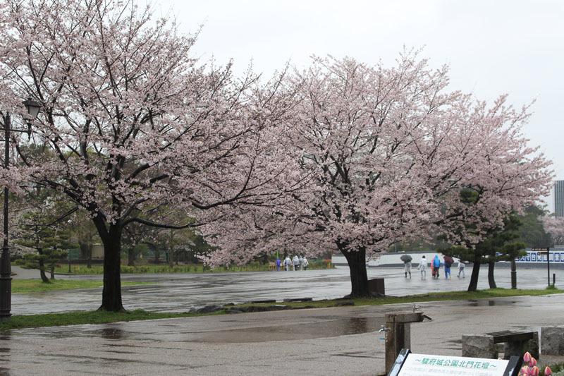 駿府城公園の桜 170411 雨