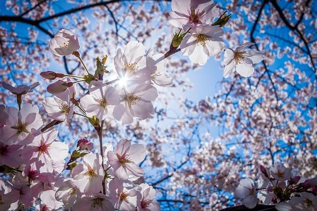 cherry-blossoms-1716763_640.jpg