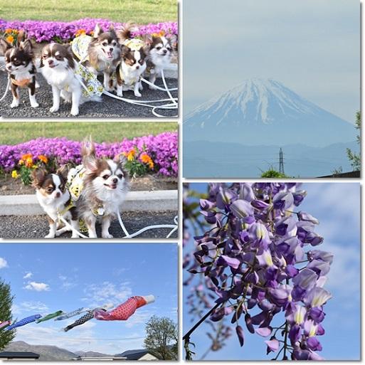 藤の花と富士山とチワワンズ