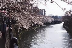 大岡川の櫻裕香