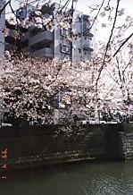 マンション大岡川の櫻