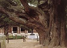 建長寺ビャクシンの巨木