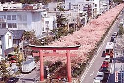 若宮大路桜満開