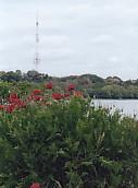 佐鳴湖西岸花