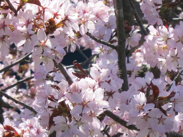 蝦夷山桜 アップ