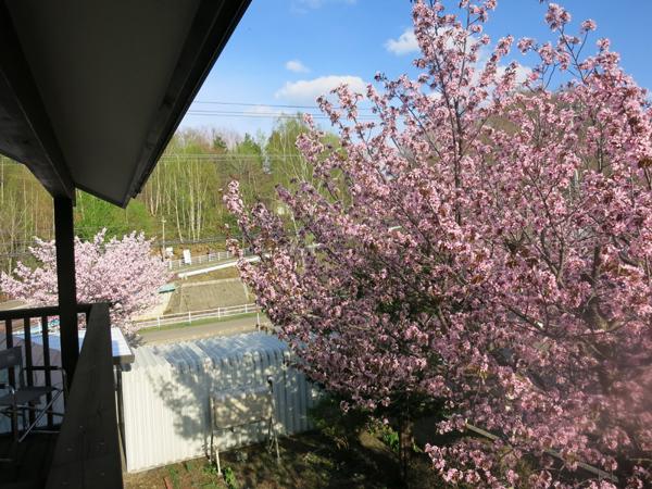 蝦夷山桜 桜並木
