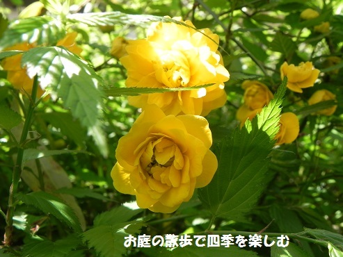 yamabuki7_20170420122648466.jpg