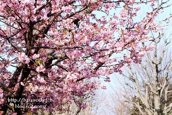 河津桜201702-11