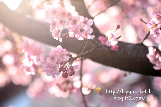 河津桜201702-14